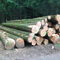 Grown in Britain Douglas Fir